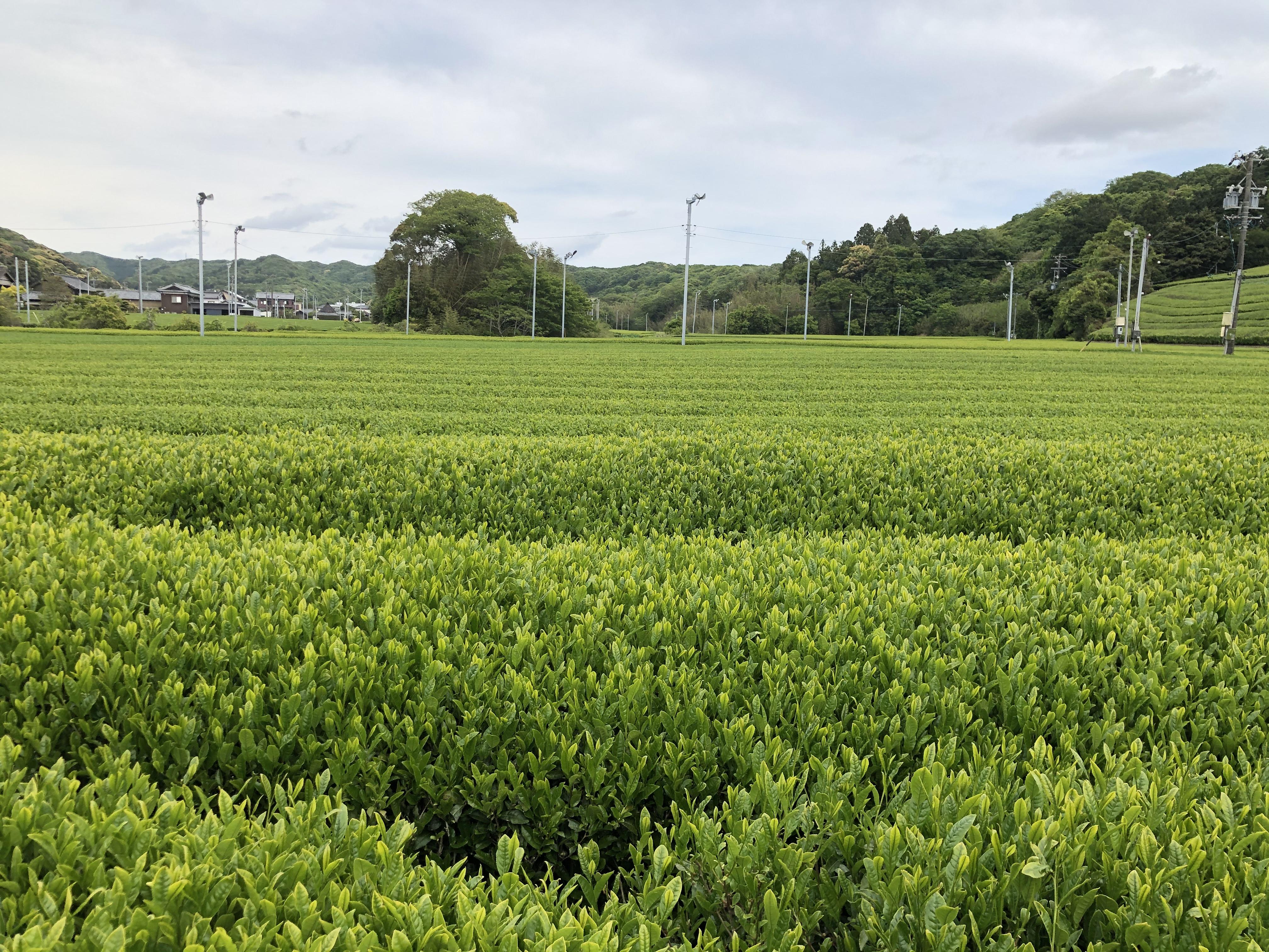 静岡,茶畑