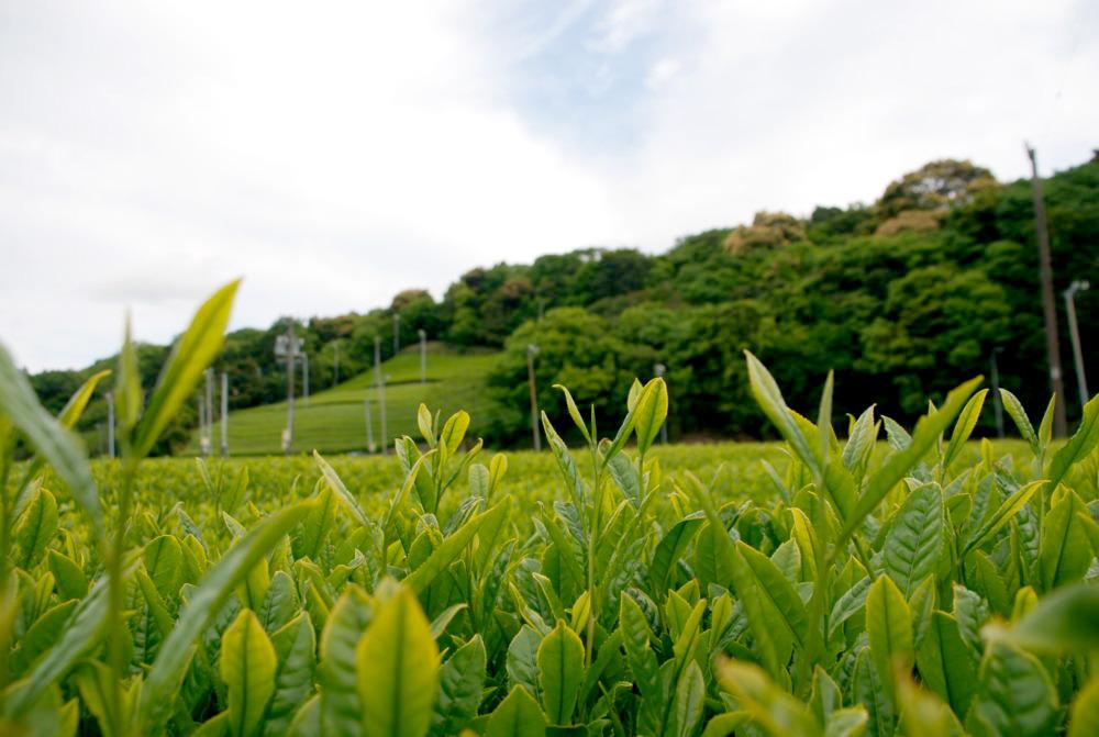 日本茶カフェ,茶畑